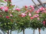 Роза почвопокровная Мэджик Мейландекор