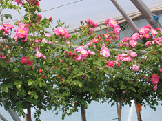 Роза почвопокровная Мэджик Мейяндекор