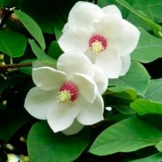 Магнолия обратнояйцевидная Magnolia obovata