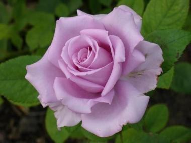 Роза чайно-гибридная Майзер