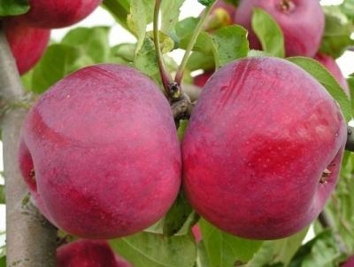 Яблоня Макинтош(Канада) (осеннее)