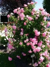 Роза плетистая Манита