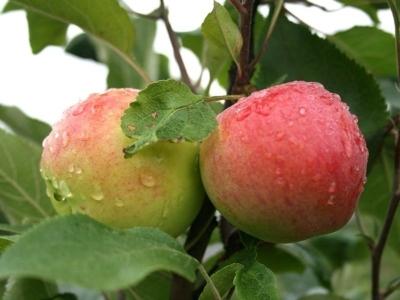 Яблоня Мантет (летнее)