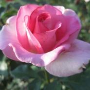 Роза чайно-гибридная и флорибунда МАРИНА