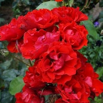 Роза бордюрная, спрей  Матиас