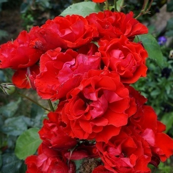 "Роза бордюрная, спрей  ""Матиас"""