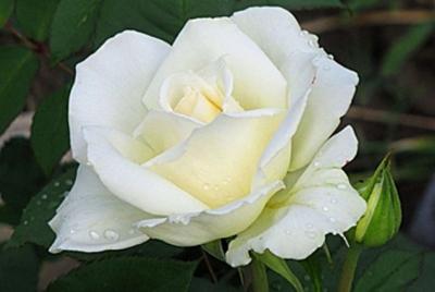"Роза чайно-гибридная ""Маунт Шаста""\""Mount Shasta"""