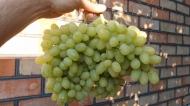 Виноград Гелиодор