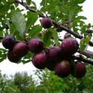 Сливово-вишневый гибрид карликовый «Мейнор» (средний)