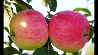 Яблоня Мельба (Канада) (летнее)