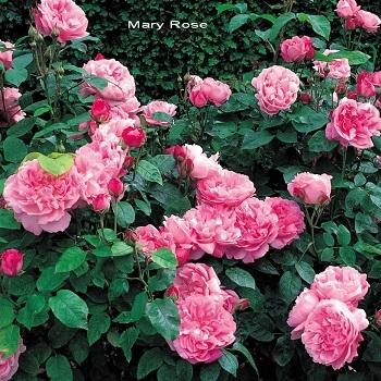 Роза английская Мэри Роуз (шраб)