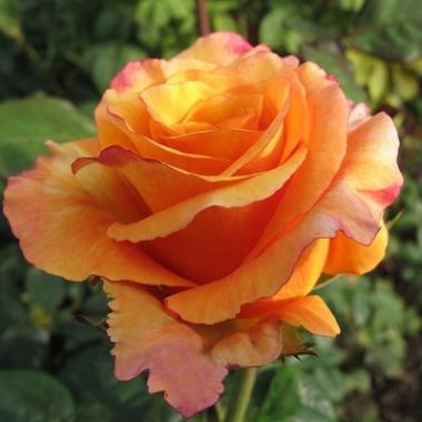 Роза чайно-гибридная Мильва