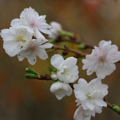 Миндаль Белоцветковый/Amygdalus Albiflora