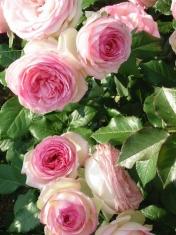 Роза миниатюрная бордюр Мини Эден