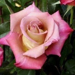 Роза чайно-гибридная Мишель Друкер