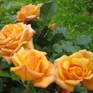 Роза плетистая Мишка