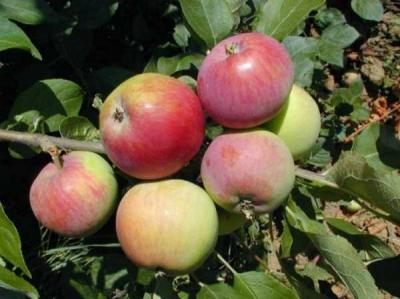 Яблоня Монтуан (осеннее)