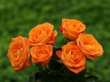 Роза Морковная