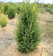 """Можжевельник китайский """"Обелиск""""/Juniperus chinensis """"Obelisk"""""""