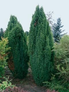 Можжевельник обыкновенный Мейер (контейнер)\Juniperus communis Meyer
