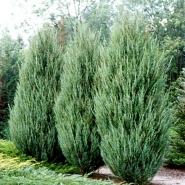 """Можжевельник скальный """"Скайрокет""""\Juniperus scopulorum """"Skyrocket"""""""