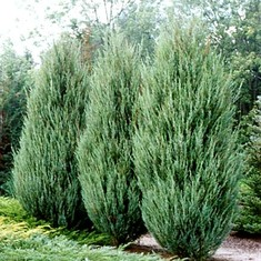 Можжевельник скальный Скайрокет\Juniperus scopulorum Skyrocket