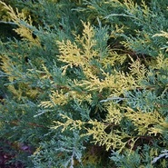 Можжевельник средний Блю энд Голд \ Juniperus media Blue and Gold