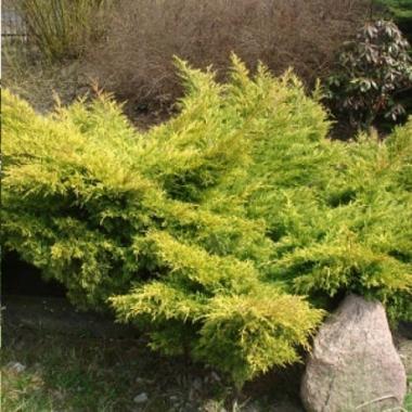 Можжевельник средний Олд Голд \ Juniperus media Old Gold