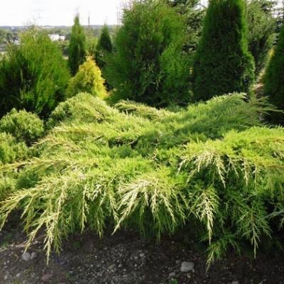 Можжевельник средний Пфитцериана Ауреа \ Juniperus Pfitzeriana Aurea