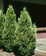 Можжевельник виргинский (40-45см)