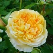 Роза английская Мулинекс (шраб)