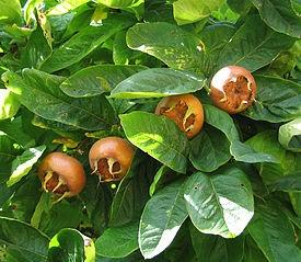 Мушмула Германская \ Mespilus germanica L.