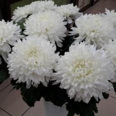 Хризантема Милка белая