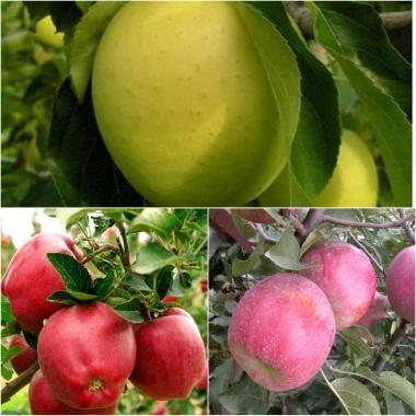 Дерево-сад Яблоня 3 сорта Рэд Делишес+Флорина+Гольден Делишес