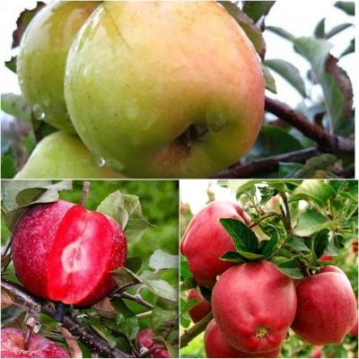 Дерево-сад Яблоня 3 сорта Эра +Голд Раш+Рэд Делишес