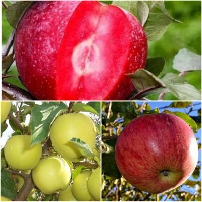 Дерево-сад Яблоня 3 сорта Эра+ Голден Делишес +Ханей Крисп