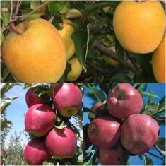Дерево-сад Яблоня 3 сорта Голд Раш +Глостер +Моди