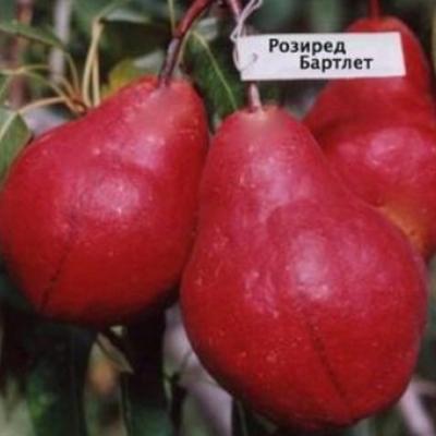 Груша Рози Ред Бартлет