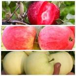 Дерево сад яблоня (Мельба+Белый налив +Сирена)