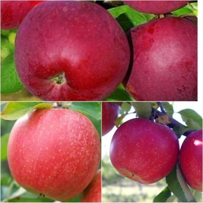 Дерево-сад Яблоня 3 сорта, 2-х летняя (Слава Победителям + Чемпион +Вильмс Прайд)