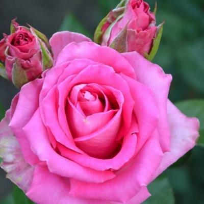 Роза почвопокровная Розовая Гроздь