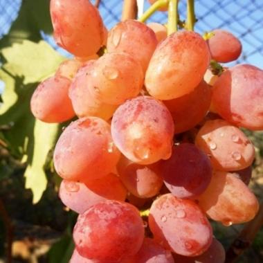 Виноград кишмиш Находка
