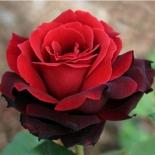 Роза чайно-гибритная Норита/Norita (контейнер 2л)