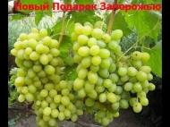 Виноград Новый Подарок Запорожью/НПЗ