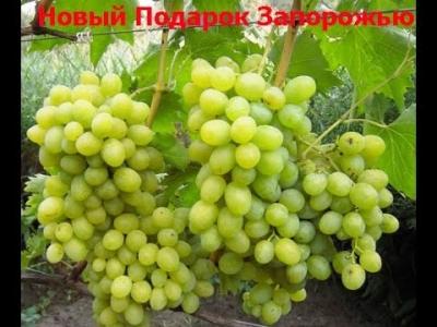 """Виноград """"Новый Подарок Запорожью""""/""""НПЗ"""""""