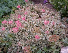 Очиток Триколор \ Sedum spurium Tricolor