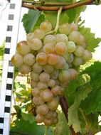 Виноград Олимпиада