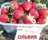 """Клубника ранняя """"Ольвия"""""""