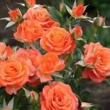 Роза бордюрная Оранж Корона