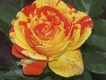 Роза флорибунда Оранж-н-Лемон